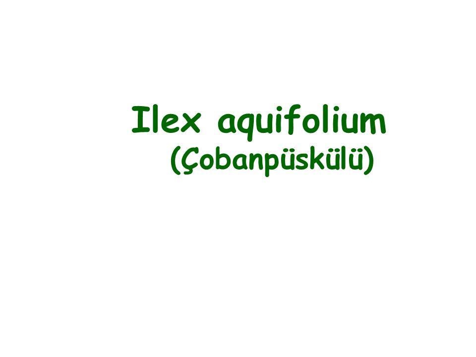 Ilex aquifolium (Çobanpüskülü)