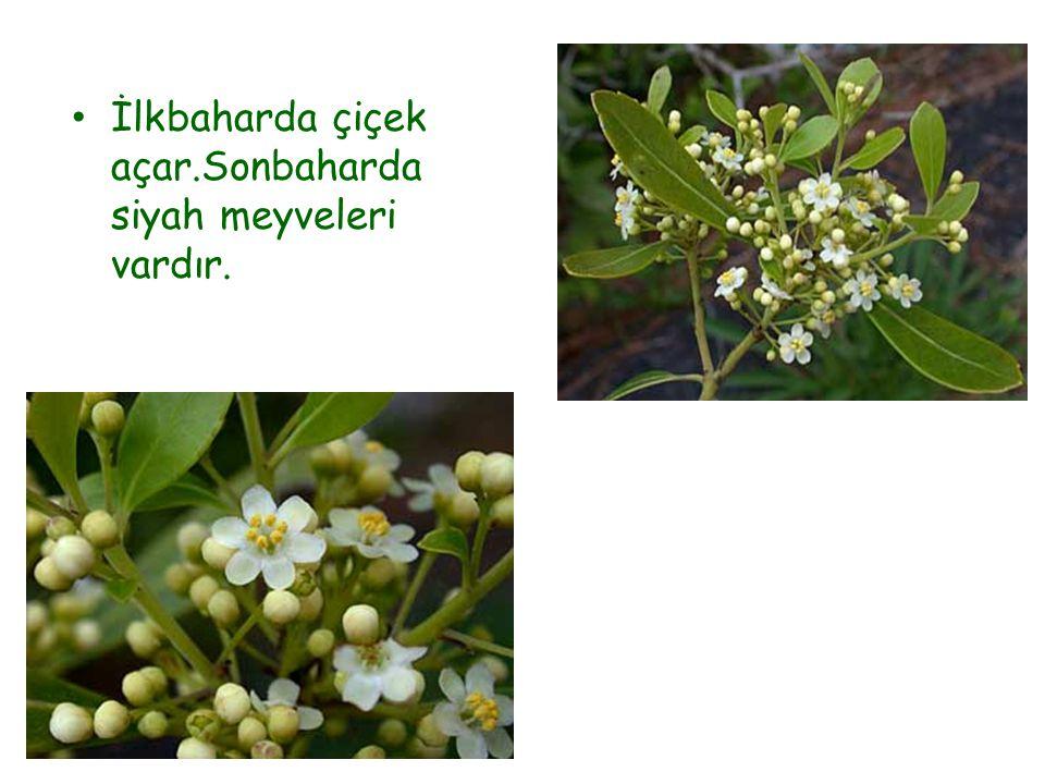 İlkbaharda çiçek açar.Sonbaharda siyah meyveleri vardır.