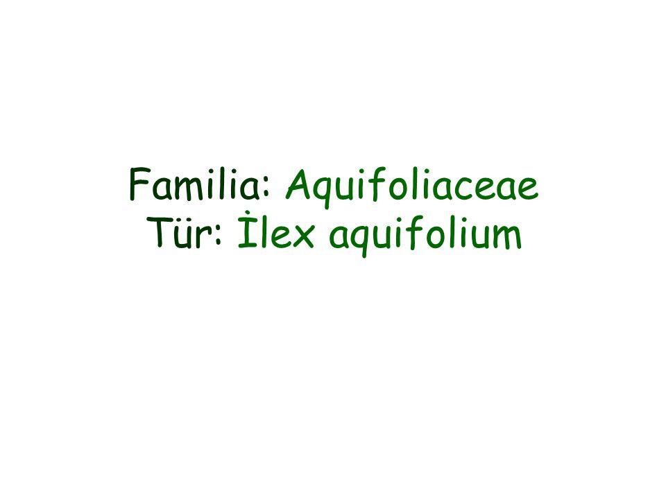 Familia: Aquifoliaceae Tür: İlex aquifolium