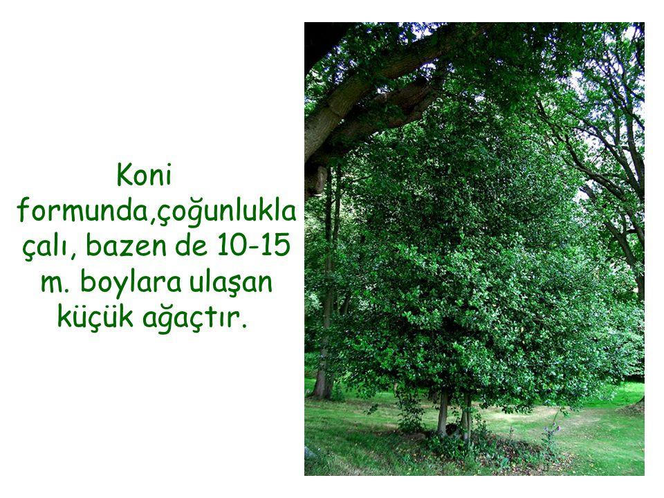 Koni formunda,çoğunlukla çalı, bazen de 10-15 m. boylara ulaşan küçük ağaçtır.