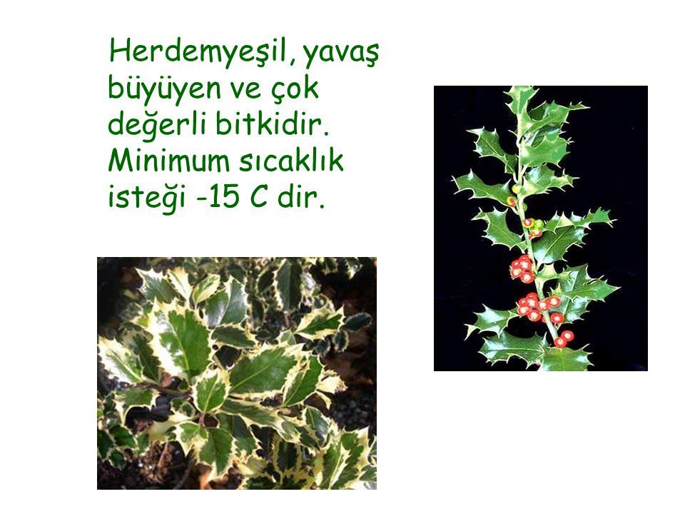 Herdemyeşil, yavaş büyüyen ve çok değerli bitkidir. Minimum sıcaklık isteği -15 C dir.