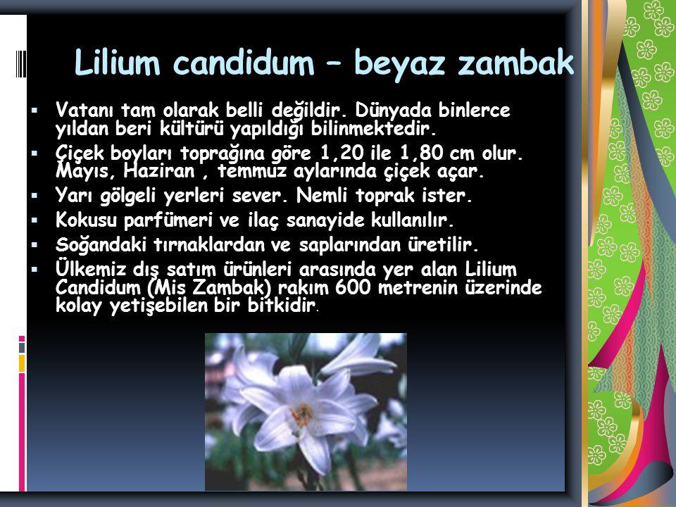 Lilium candidum – beyaz zambak  Vatanı tam olarak belli değildir.