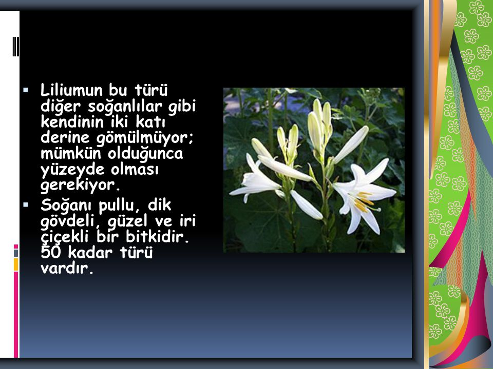 Liliumun bu türü diğer soğanlılar gibi kendinin iki katı derine gömülmüyor; mümkün olduğunca yüzeyde olması gerekiyor.