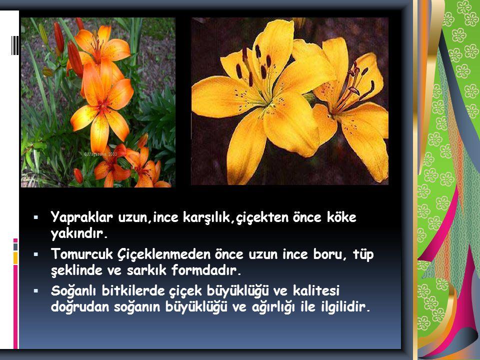  Yapraklar uzun,ince karşılık,çiçekten önce köke yakındır.
