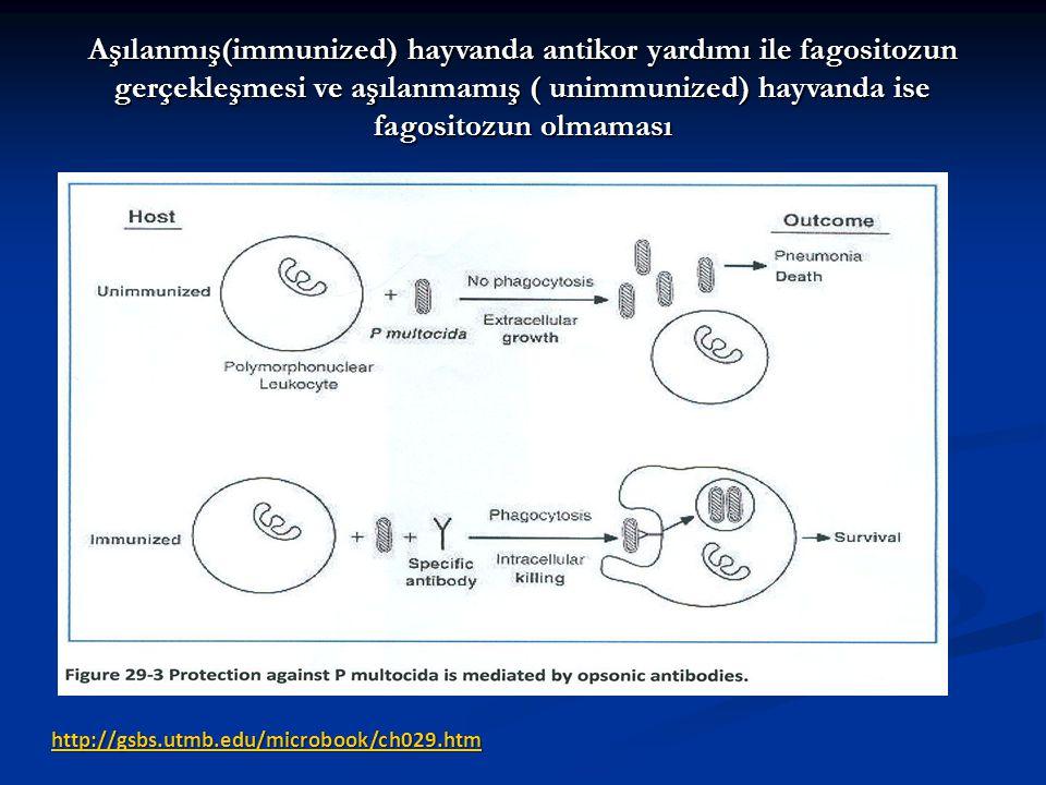 http://gsbs.utmb.edu/microbook/ch029.htm Aşılanmış(immunized) hayvanda antikor yardımı ile fagositozun gerçekleşmesi ve aşılanmamış ( unimmunized) hay