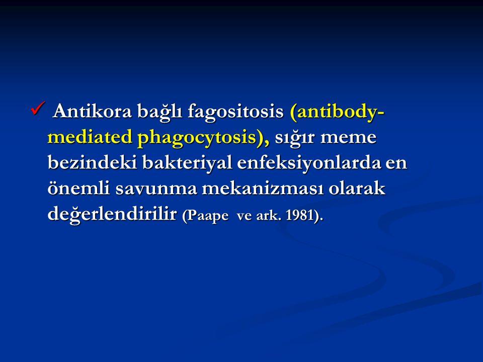 Antikora bağlı fagositosis (antibody- mediated phagocytosis), sığır meme bezindeki bakteriyal enfeksiyonlarda en önemli savunma mekanizması olarak değ