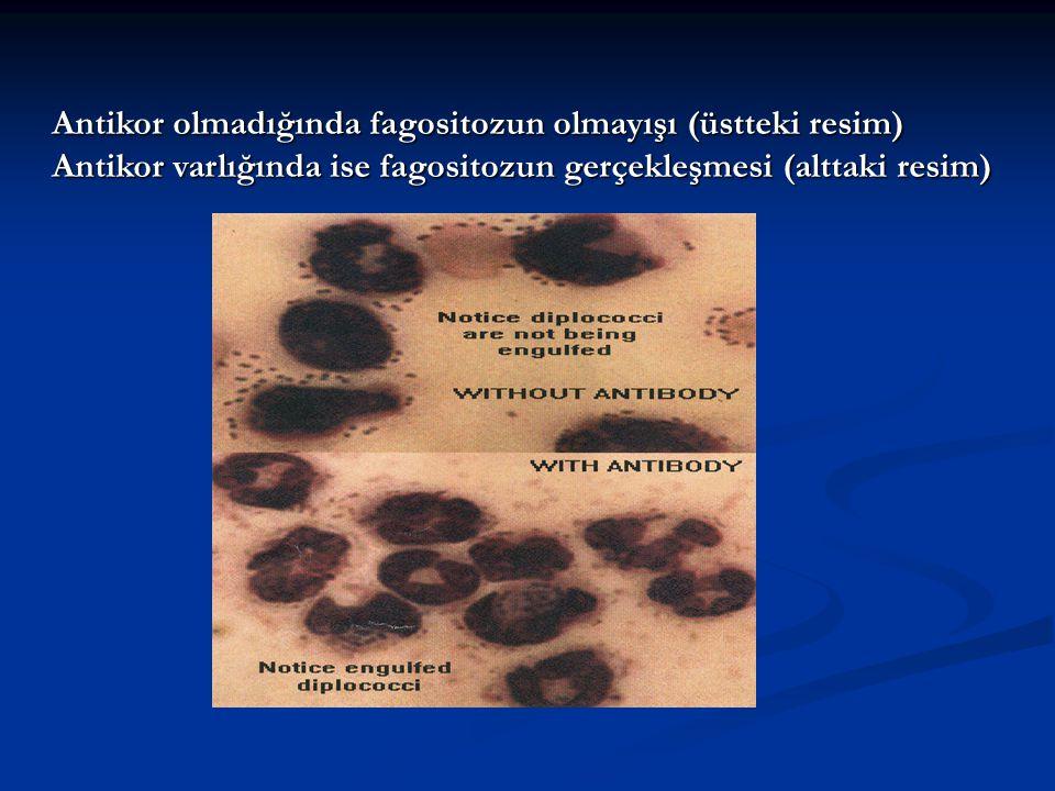 Antikor olmadığında fagositozun olmayışı (üstteki resim) Antikor varlığında ise fagositozun gerçekleşmesi (alttaki resim)