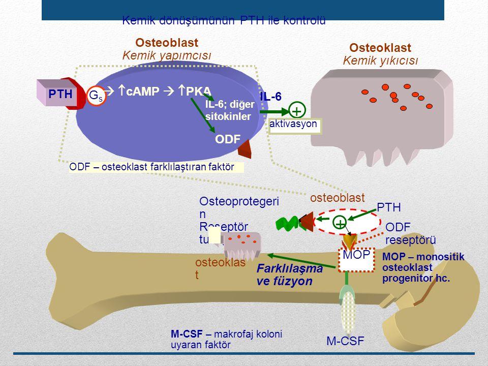 MOP ODF reseptörü Farklılaşma ve füzyon GsGs   cAMP   PKA Osteoblast Kemik yapımcısı ODF Osteoprotegeri n Reseptör tuzağı osteoblast osteoklas t O