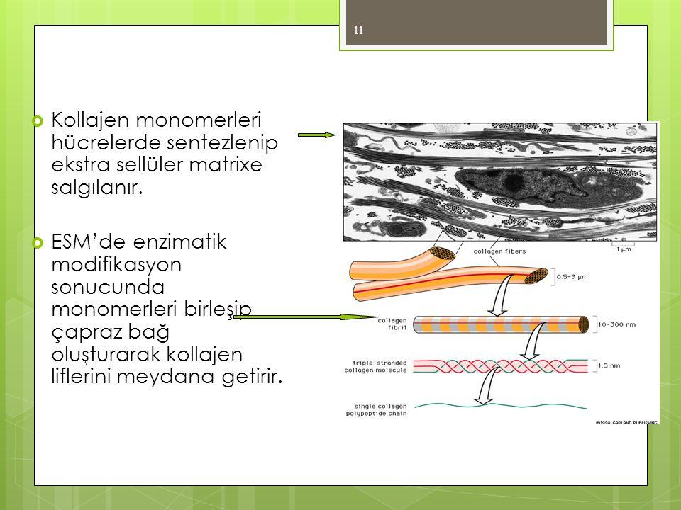  Kollajen monomerleri hücrelerde sentezlenip ekstra sellüler matrixe salgılanır.  ESM'de enzimatik modifikasyon sonucunda monomerleri birleşip çapra