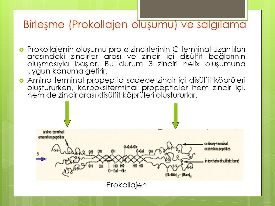 Birleşme (Prokollajen oluşumu) ve salgılama  Prokollajenin oluşumu pro  zincirlerinin C terminal uzantıları arasındaki zincirler arası ve zincir içi