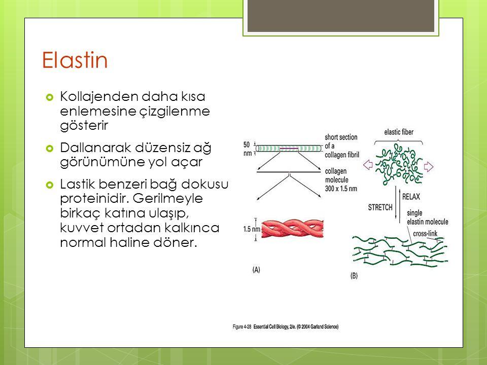 Elastin  Kollajenden daha kısa enlemesine çizgilenme gösterir  Dallanarak düzensiz ağ görünümüne yol açar  Lastik benzeri bağ dokusu proteinidir. G