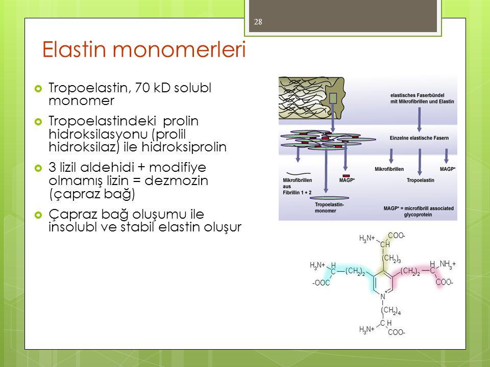 Elastin monomerleri  Tropoelastin, 70 kD solubl monomer  Tropoelastindeki prolin hidroksilasyonu (prolil hidroksilaz) ile hidroksiprolin  3 lizil a