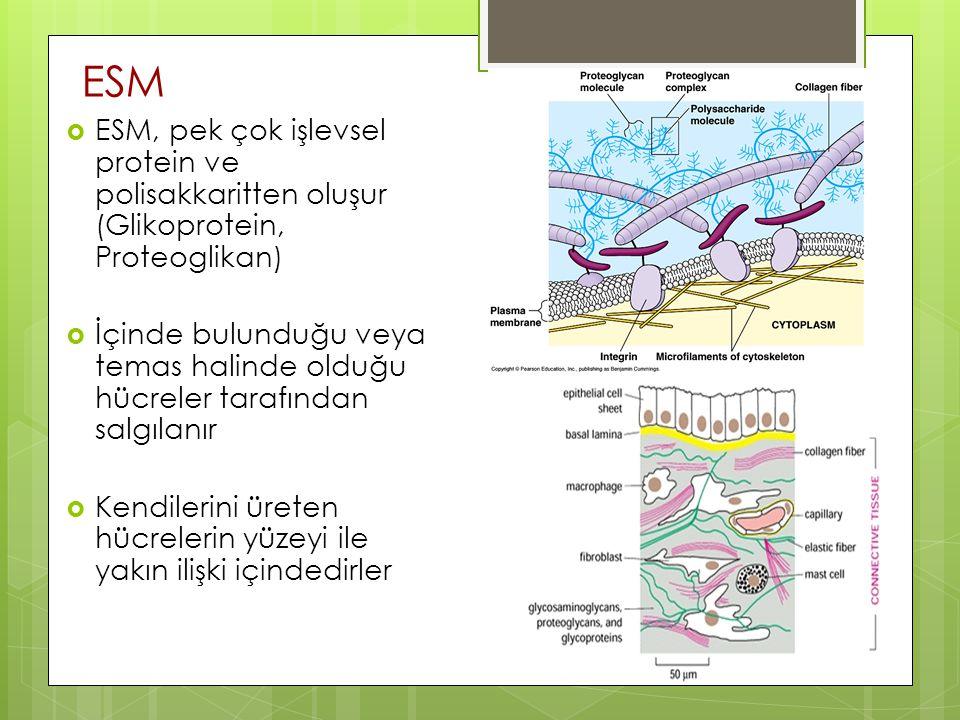 ESM  ESM, pek çok işlevsel protein ve polisakkaritten oluşur (Glikoprotein, Proteoglikan)  İçinde bulunduğu veya temas halinde olduğu hücreler taraf