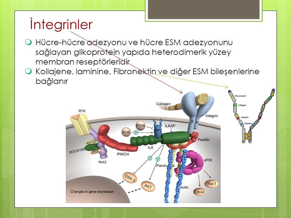 38 İntegrinler  Hücre-hücre adezyonu ve hücre ESM adezyonunu sağlayan glikoprotein yapıda heterodimerik yüzey membran reseptörleridir  Kollajene, la