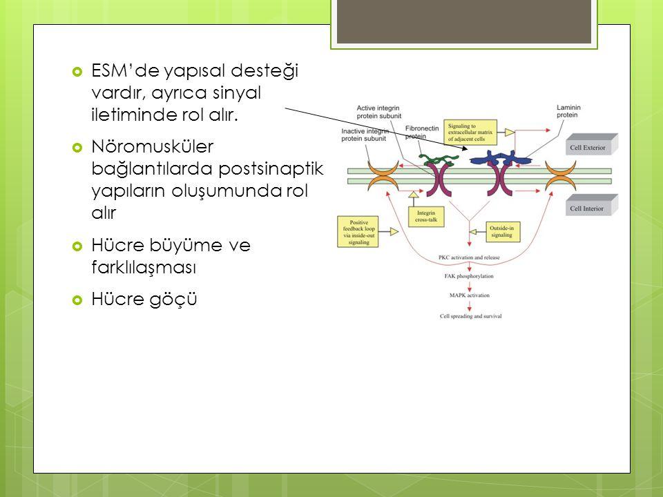  ESM'de yapısal desteği vardır, ayrıca sinyal iletiminde rol alır.  Nöromusküler bağlantılarda postsinaptik yapıların oluşumunda rol alır  Hücre bü