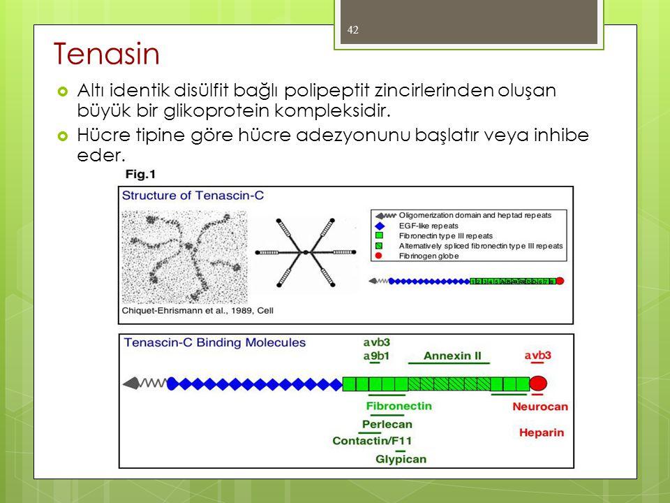  Altı identik disülfit bağlı polipeptit zincirlerinden oluşan büyük bir glikoprotein kompleksidir.  Hücre tipine göre hücre adezyonunu başlatır veya