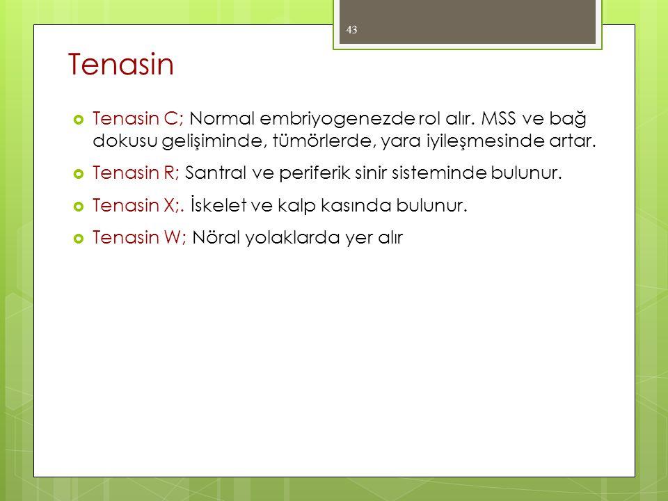  Tenasin C; Normal embriyogenezde rol alır. MSS ve bağ dokusu gelişiminde, tümörlerde, yara iyileşmesinde artar.  Tenasin R; Santral ve periferik si