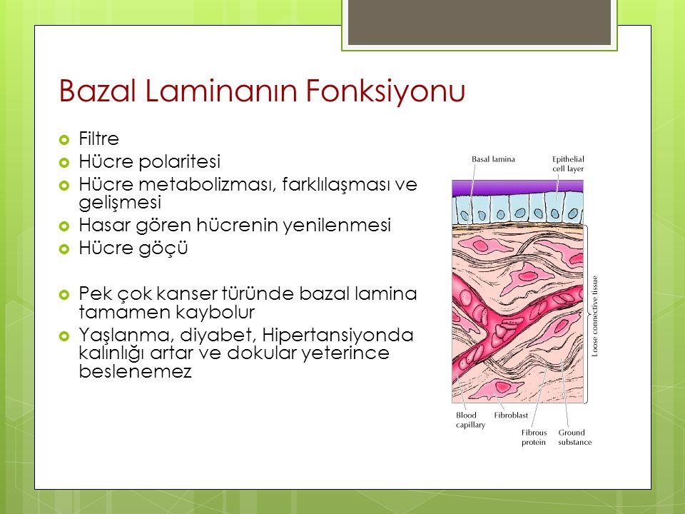 Bazal Laminanın Fonksiyonu  Filtre  Hücre polaritesi  Hücre metabolizması, farklılaşması ve gelişmesi  Hasar gören hücrenin yenilenmesi  Hücre gö