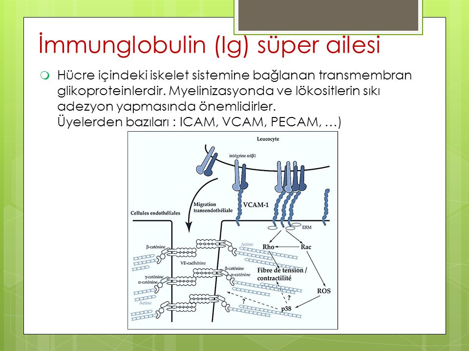  Hücre içindeki iskelet sistemine bağlanan transmembran glikoproteinlerdir. Myelinizasyonda ve lökositlerin sıkı adezyon yapmasında önemlidirler. Üye