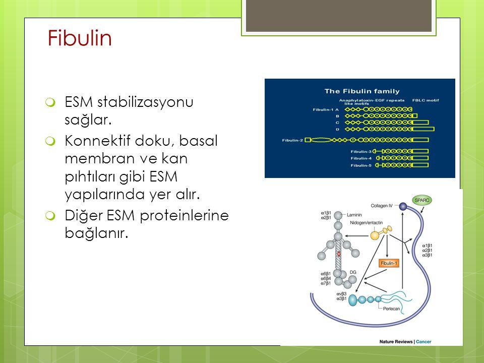 Fibulin  ESM stabilizasyonu sağlar.  Konnektif doku, basal membran ve kan pıhtıları gibi ESM yapılarında yer alır.  Diğer ESM proteinlerine bağlanı
