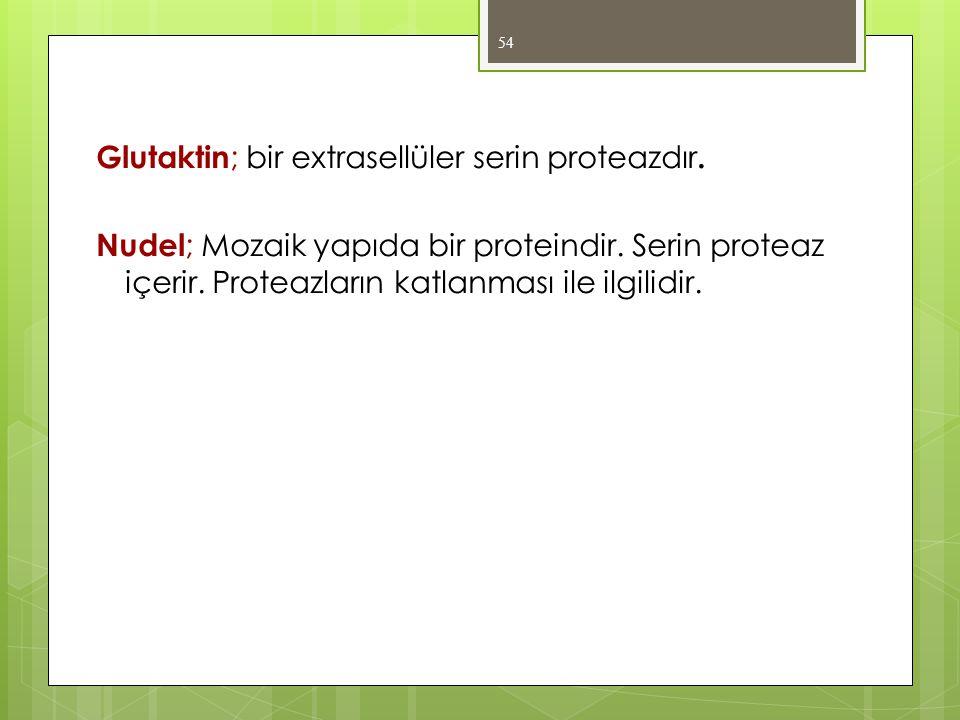 Glutaktin ; bir extrasellüler serin proteazdır. Nudel ; Mozaik yapıda bir proteindir. Serin proteaz içerir. Proteazların katlanması ile ilgilidir. 54