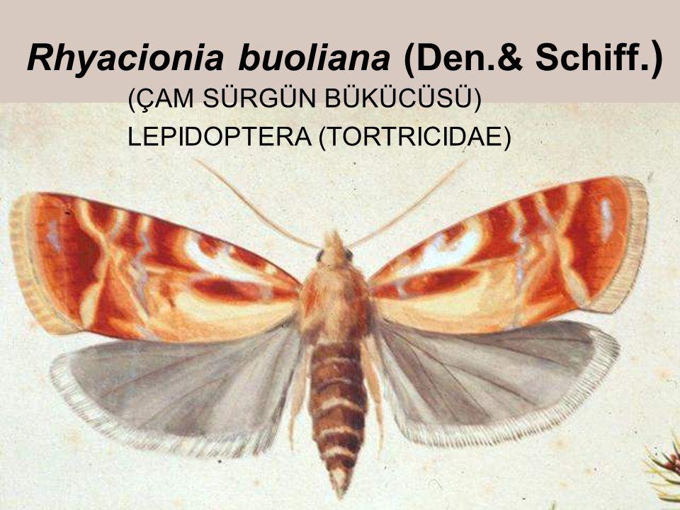 Rhyacionia buoliana (Den.& Schiff.) (ÇAM SÜRGÜN BÜKÜCÜSÜ) LEPIDOPTERA (TORTRICIDAE)