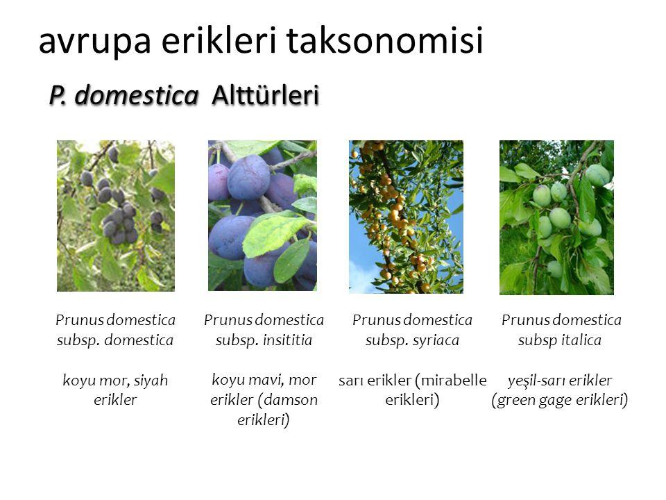 avrupa erikleri taksonomisi Prunus domestica subsp. domestica koyu mor, siyah erikler Prunus domestica subsp. insititia koyu mavi, mor erikler (damson