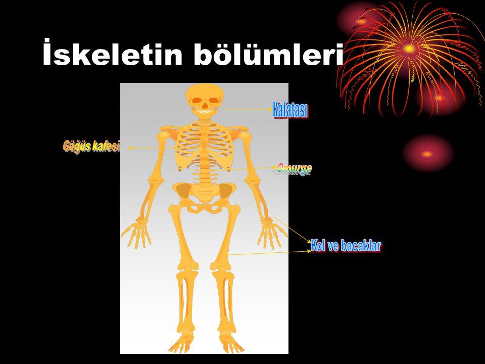 İskeletimizin kaç çeşit kemiği vardır? Kısa kemikler Uzun kemikler Yassı kemikler