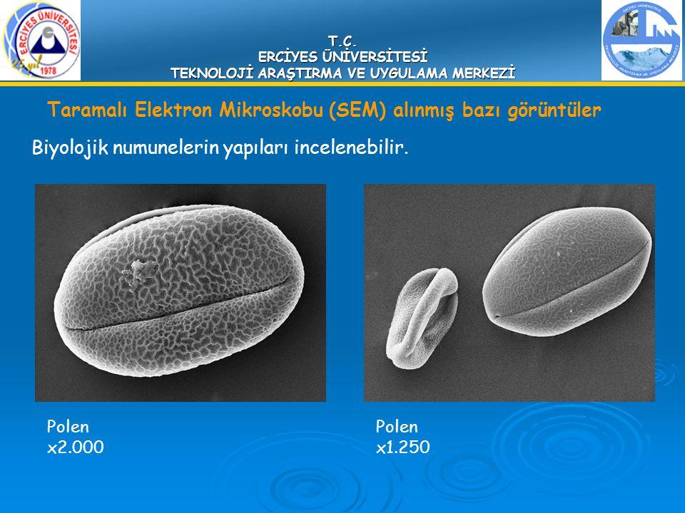 T.C. ERCİYES ÜNİVERSİTESİ TEKNOLOJİ ARAŞTIRMA VE UYGULAMA MERKEZİ Biyolojik numunelerin yapıları incelenebilir. Polen x2.000 Polen x1.250 Taramalı Ele
