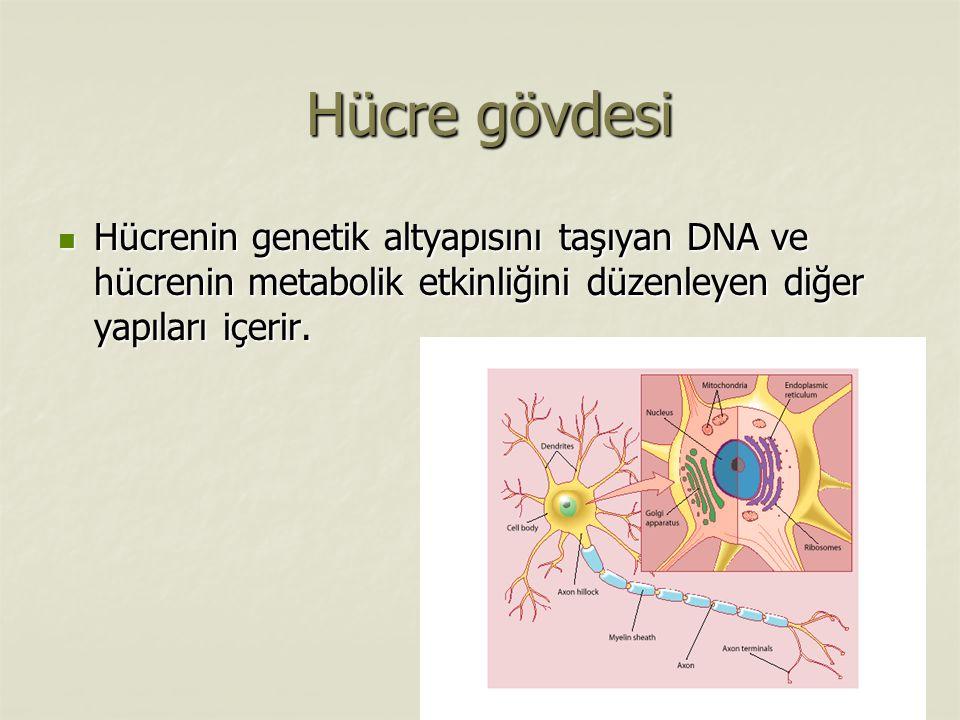 Hücre gövdesi Hücre gövdesi Hücrenin genetik altyapısını taşıyan DNA ve hücrenin metabolik etkinliğini düzenleyen diğer yapıları içerir.