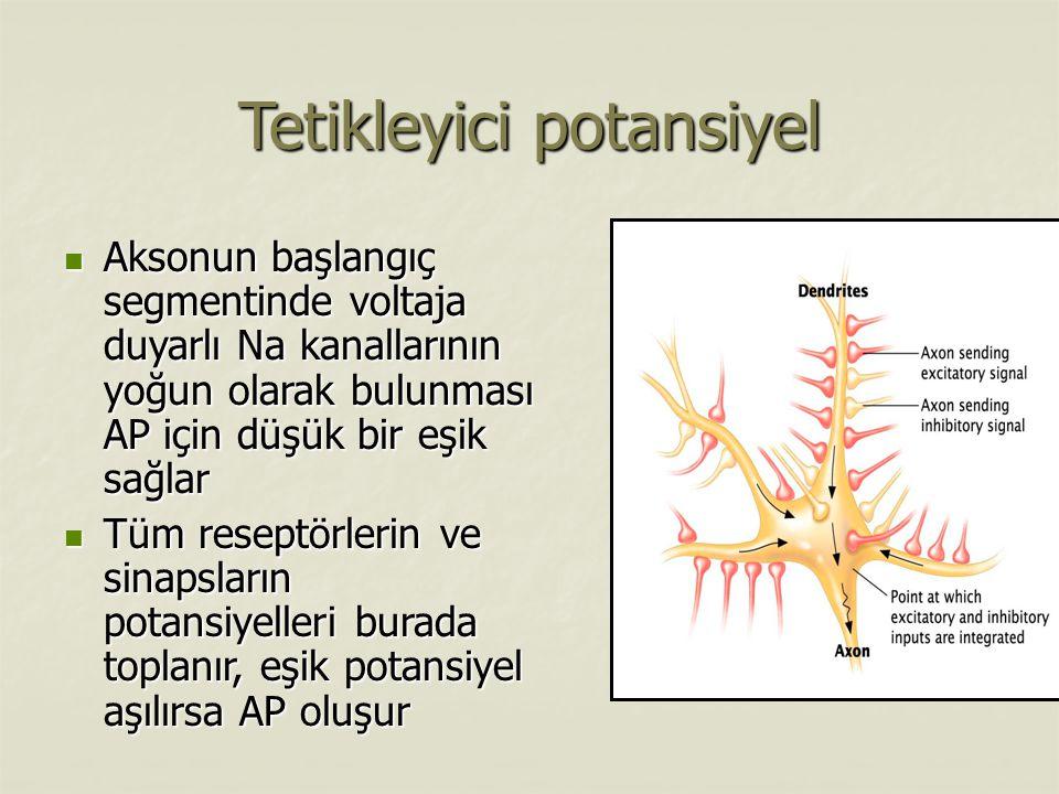 Tetikleyici potansiyel Aksonun başlangıç segmentinde voltaja duyarlı Na kanallarının yoğun olarak bulunması AP için düşük bir eşik sağlar Aksonun başlangıç segmentinde voltaja duyarlı Na kanallarının yoğun olarak bulunması AP için düşük bir eşik sağlar Tüm reseptörlerin ve sinapsların potansiyelleri burada toplanır, eşik potansiyel aşılırsa AP oluşur Tüm reseptörlerin ve sinapsların potansiyelleri burada toplanır, eşik potansiyel aşılırsa AP oluşur