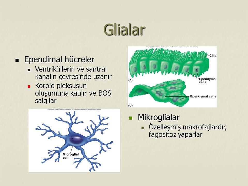 Glialar Ependimal hücreler Ependimal hücreler Ventriküllerin ve santral kanalın çevresinde uzanır Ventriküllerin ve santral kanalın çevresinde uzanır Koroid pleksusun oluşumuna katılır ve BOS salgılar Koroid pleksusun oluşumuna katılır ve BOS salgılar Mikroglialar Mikroglialar Özelleşmiş makrofajlardır, fagositoz yaparlar Özelleşmiş makrofajlardır, fagositoz yaparlar