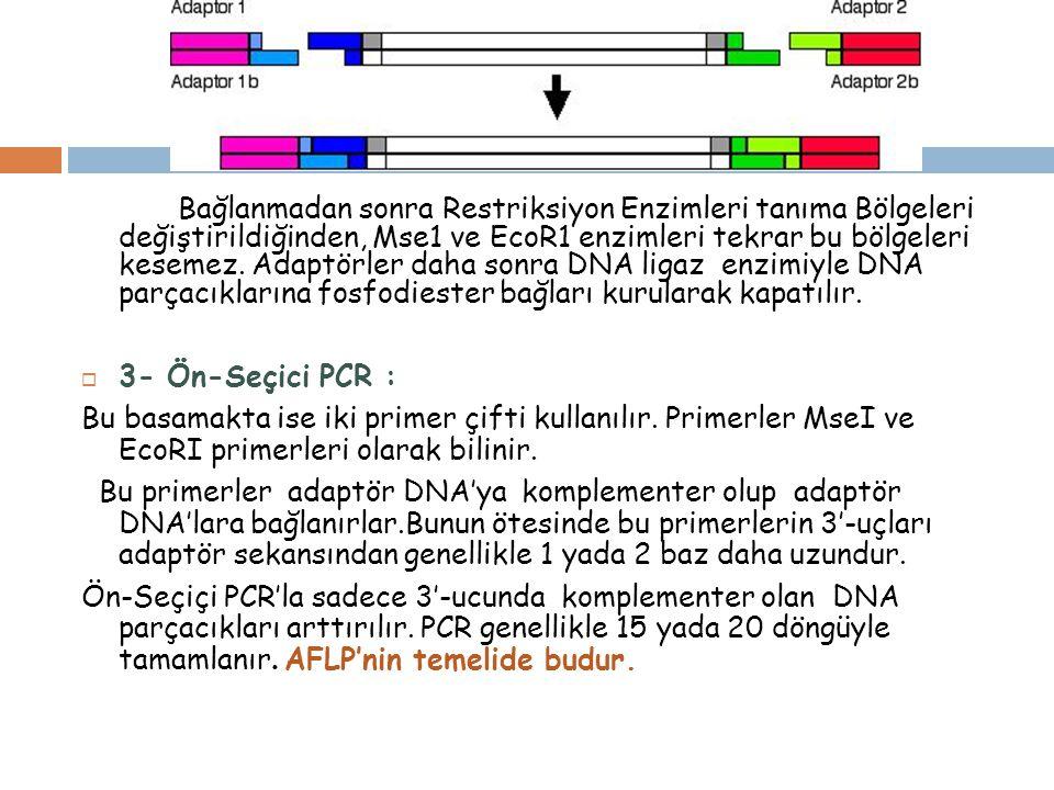 4- Seçici PCR: Ön seçici PCR ürünleri bu aşamada seyreltilerek seçici PCR'da kalıp DNA olarak kullanılır.