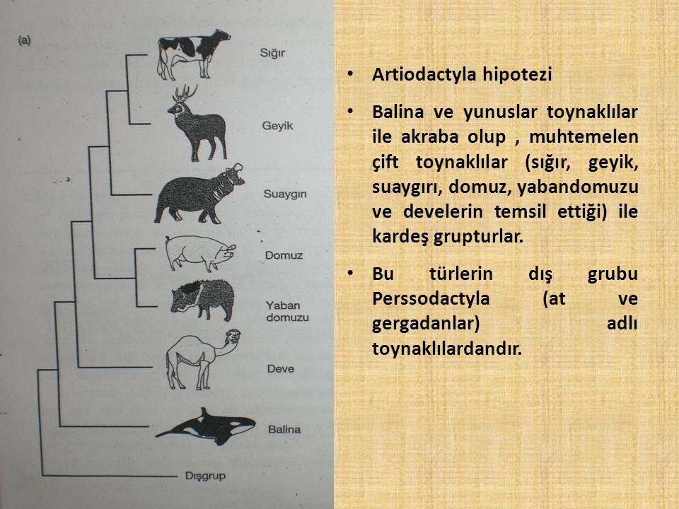 Artiodactyla hipotezi Balina ve yunuslar toynaklılar ile akraba olup, muhtemelen çift toynaklılar (sığır, geyik, suaygırı, domuz, yabandomuzu ve devel