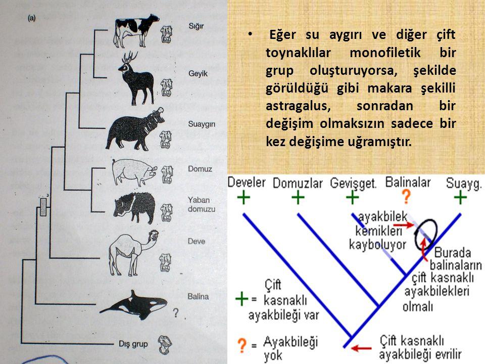 Eğer su aygırı ve diğer çift toynaklılar monofiletik bir grup oluşturuyorsa, şekilde görüldüğü gibi makara şekilli astragalus, sonradan bir değişim ol