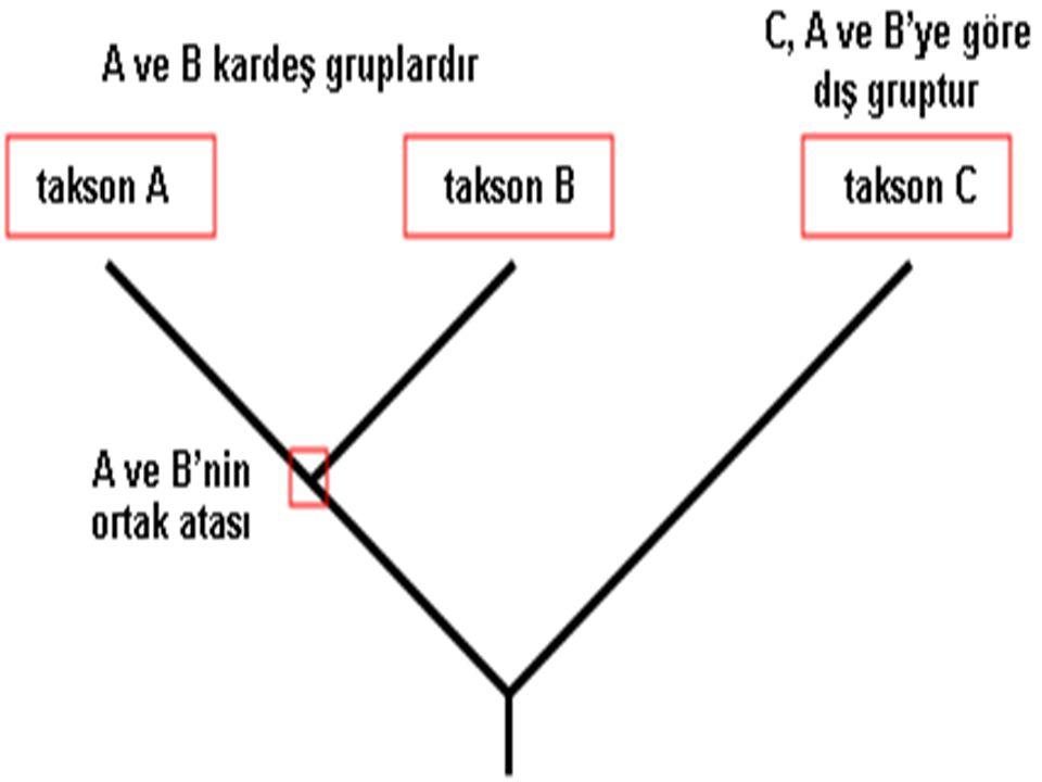 Kladistik metotlardan ikincisi; → Parsimoni Olası birçokları arasından hangi dallanma modelinin evrimsel tarihi en doğru biçimde yansıttığını tanımlamada bir yaklaşım sağlar.