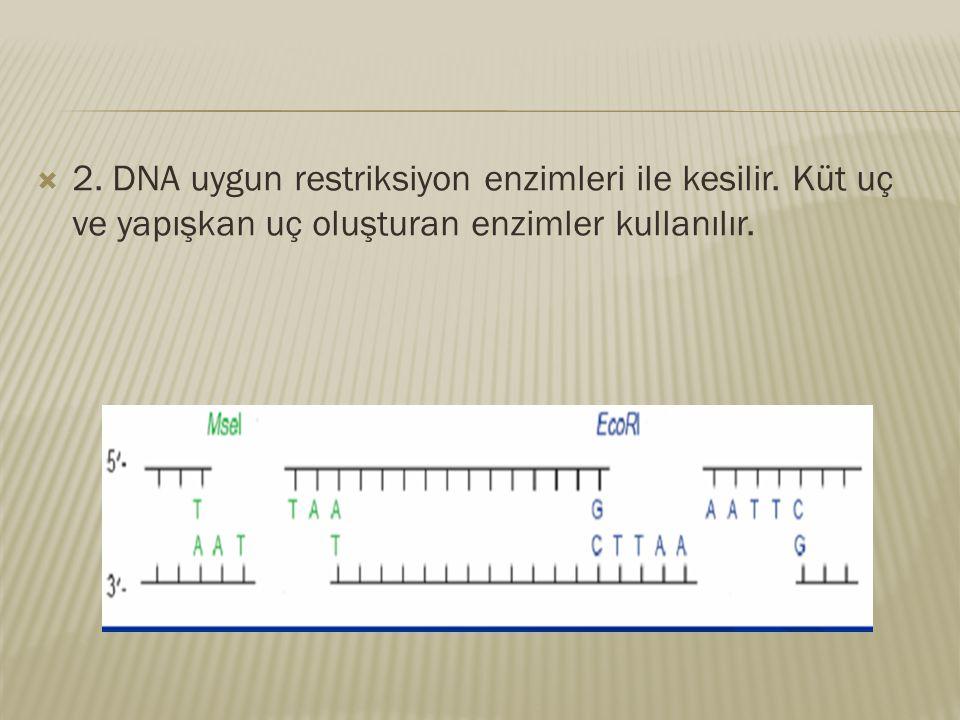  2. DNA uygun restriksiyon enzimleri ile kesilir. Küt uç ve yapışkan uç oluşturan enzimler kullanılır.