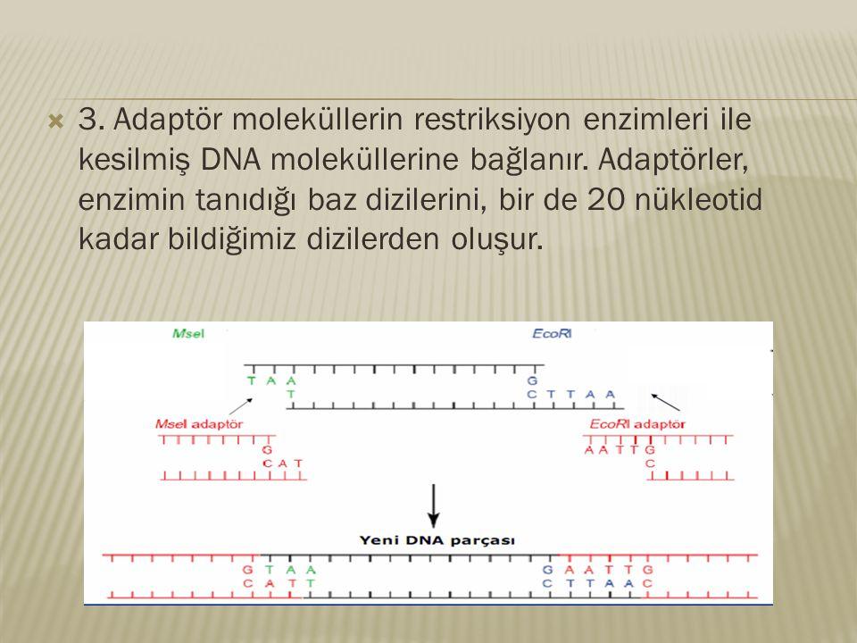  3. Adaptör moleküllerin restriksiyon enzimleri ile kesilmiş DNA moleküllerine bağlanır. Adaptörler, enzimin tanıdığı baz dizilerini, bir de 20 nükle