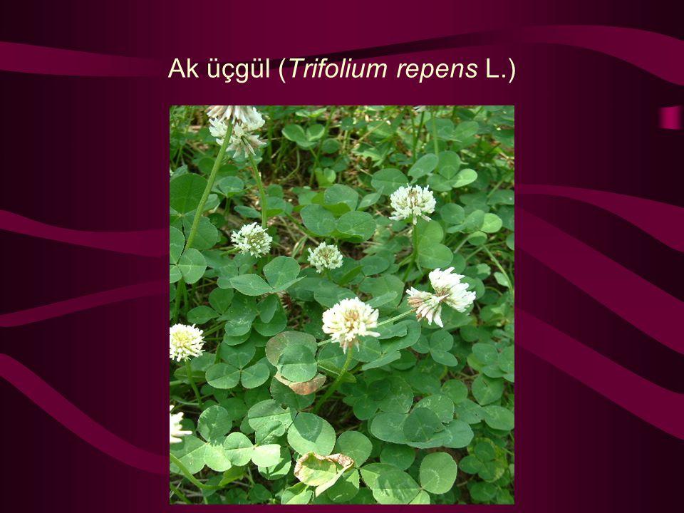 Ak üçgül (Trifolium repens L.)