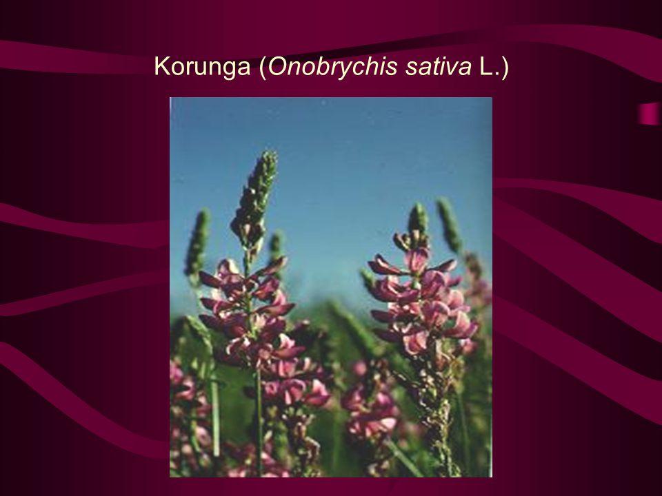 Korunga (Onobrychis sativa L.)