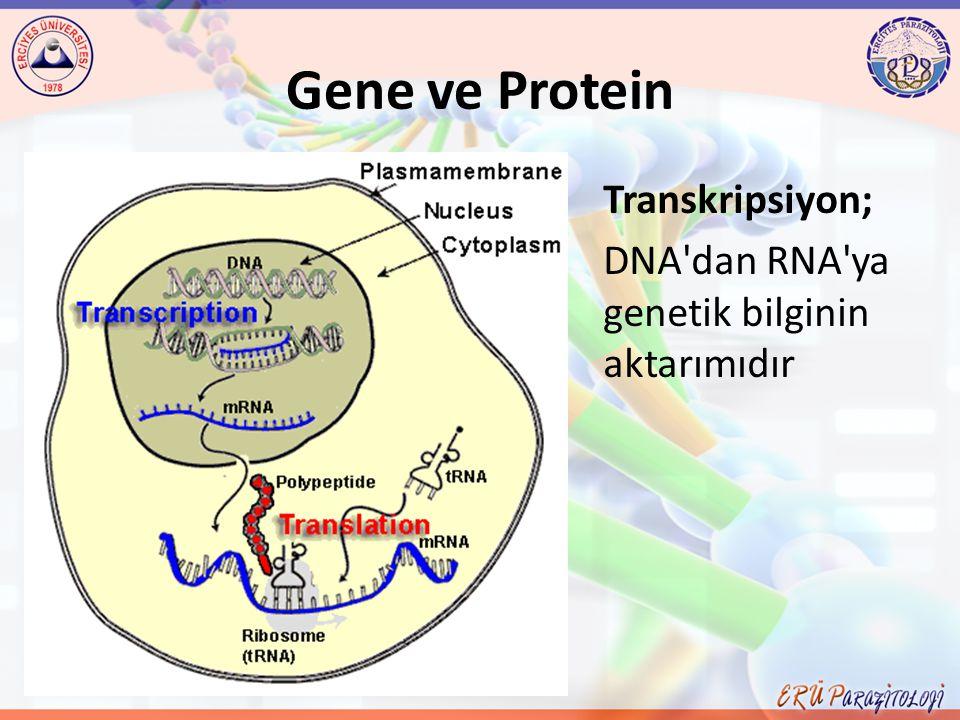 Gene ve Protein Transkripsiyon; DNA'dan RNA'ya genetik bilginin aktarımıdır