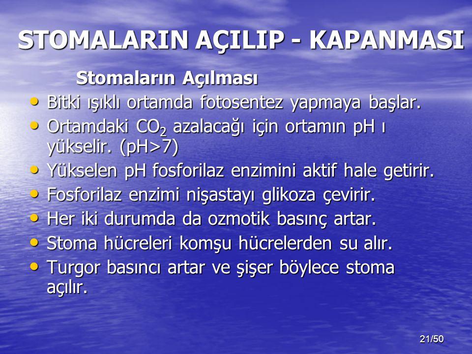 21/50 STOMALARIN AÇILIP - KAPANMASI Stomaların Açılması Bitki ışıklı ortamda fotosentez yapmaya başlar.