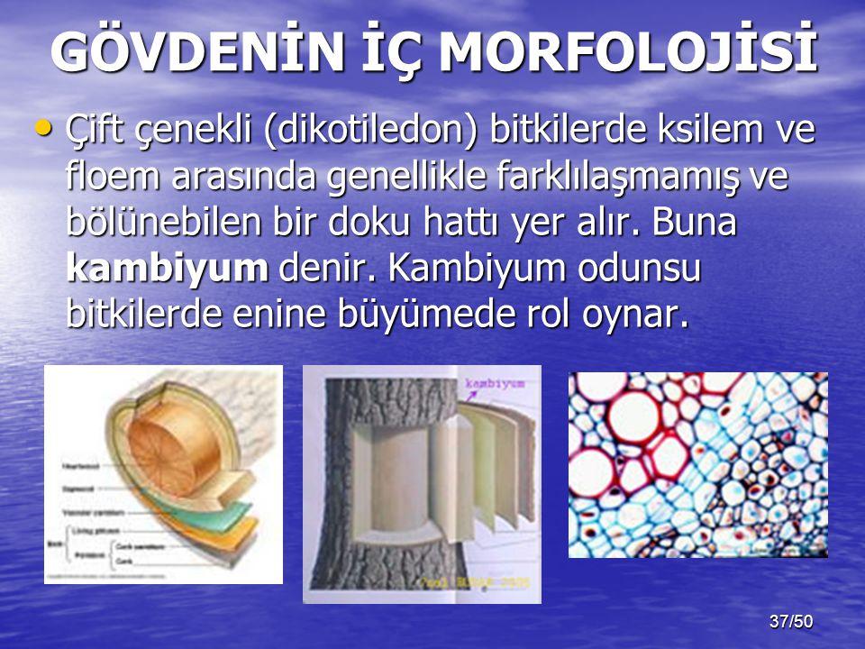 37/50 Çift çenekli (dikotiledon) bitkilerde ksilem ve floem arasında genellikle farklılaşmamış ve bölünebilen bir doku hattı yer alır.