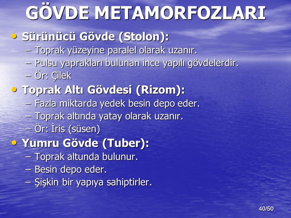 40/50 GÖVDE METAMORFOZLARI Sürünücü Gövde (Stolon): Sürünücü Gövde (Stolon): –Toprak yüzeyine paralel olarak uzanır. –Pulsu yaprakları bulunan ince ya