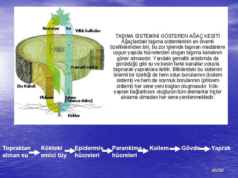 46/50 Topraktan alınan su Kökteki emici tüy Epidermis hücreleri Parankima hücreleri KsilemGövdeYaprak