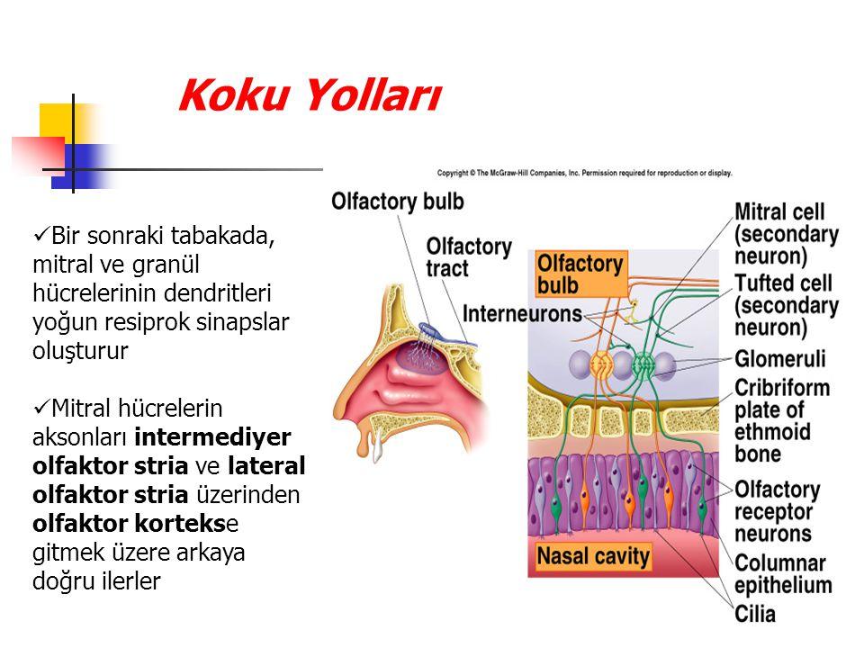 Koku Yolları Bir sonraki tabakada, mitral ve granül hücrelerinin dendritleri yoğun resiprok sinapslar oluşturur Mitral hücrelerin aksonları intermediyer olfaktor stria ve lateral olfaktor stria üzerinden olfaktor kortekse gitmek üzere arkaya doğru ilerler