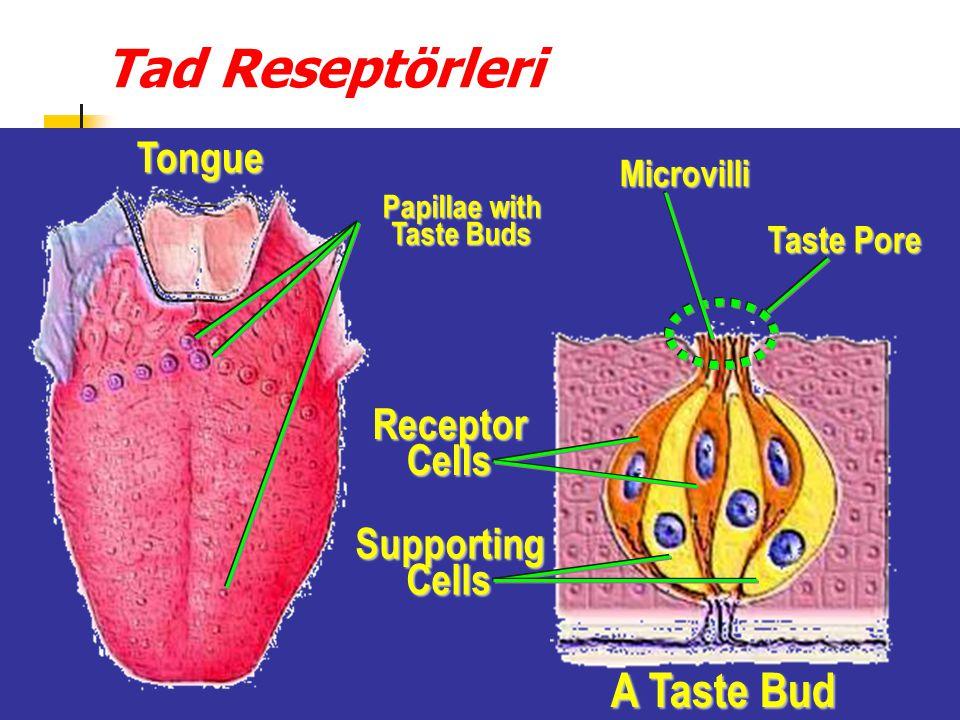 Tad Reseptörleri Tongue Tongue Papillae with Taste Buds Papillae with Taste Buds Receptor Cells Receptor Cells Supporting Cells Supporting Cells A Taste Bud Taste Pore Taste Pore Microvilli Microvilli