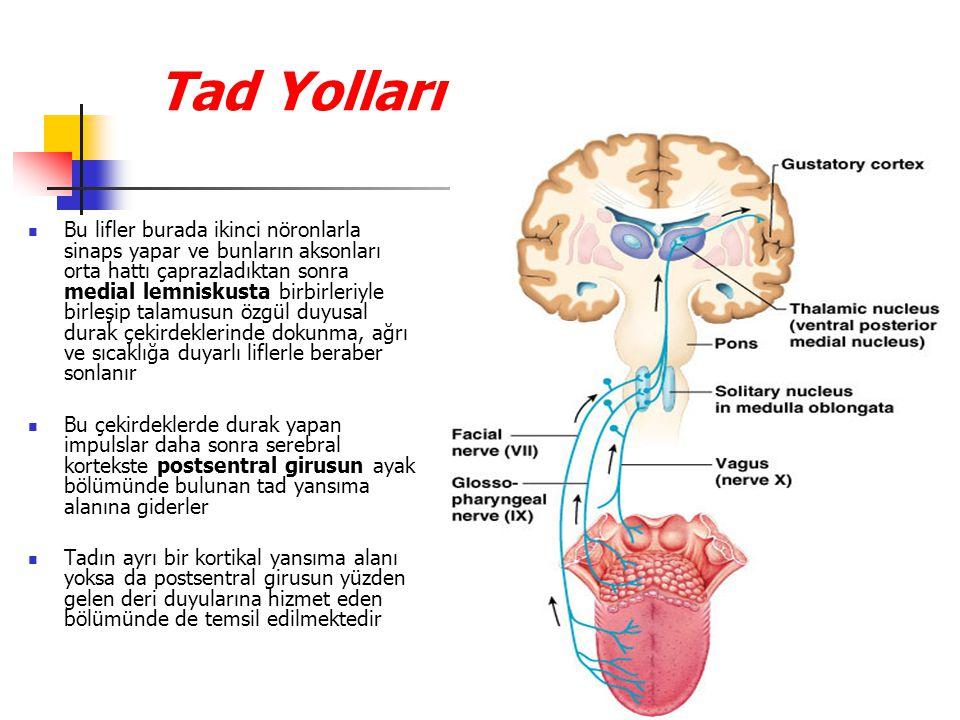 Tad Yolları Bu lifler burada ikinci nöronlarla sinaps yapar ve bunların aksonları orta hattı çaprazladıktan sonra medial lemniskusta birbirleriyle birleşip talamusun özgül duyusal durak çekirdeklerinde dokunma, ağrı ve sıcaklığa duyarlı liflerle beraber sonlanır Bu çekirdeklerde durak yapan impulslar daha sonra serebral kortekste postsentral girusun ayak bölümünde bulunan tad yansıma alanına giderler Tadın ayrı bir kortikal yansıma alanı yoksa da postsentral girusun yüzden gelen deri duyularına hizmet eden bölümünde de temsil edilmektedir