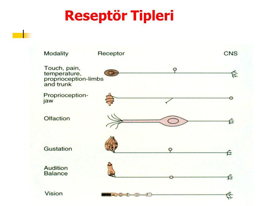 Koku Eşiği ve Koku Ayırdedilmesi Belirgin bir anomali sergilemeksizin, koku duyarlılığı, kişiden kişiye bin kata kadar değişebilen farklılık gösterir En çok görülen anomali, belirli bir kokuya karşı duyarsızlıkla giden ve insanlarda, %1-20 sıklıkta görülebilen özgül anosmidir Doğal olarak bu, özgül koku reseptörlerinin bulunmaması ile açıklanır Olfaktor reseptörler sadece olfaktor epitele dokunan ve bu epiteli örten ince mukus tabakasında çözünen maddelere yanıt verirler Örneğin sarımsağa özgün kokusunu veren metil merkaptan havada 500 pg/ L'den daha düşük yoğunlukta bulunması halinde dahi koklanmaktadır İnsanlar 2000-4000 farklı kokuyu ayırdedebilme özelliğine sahiptir