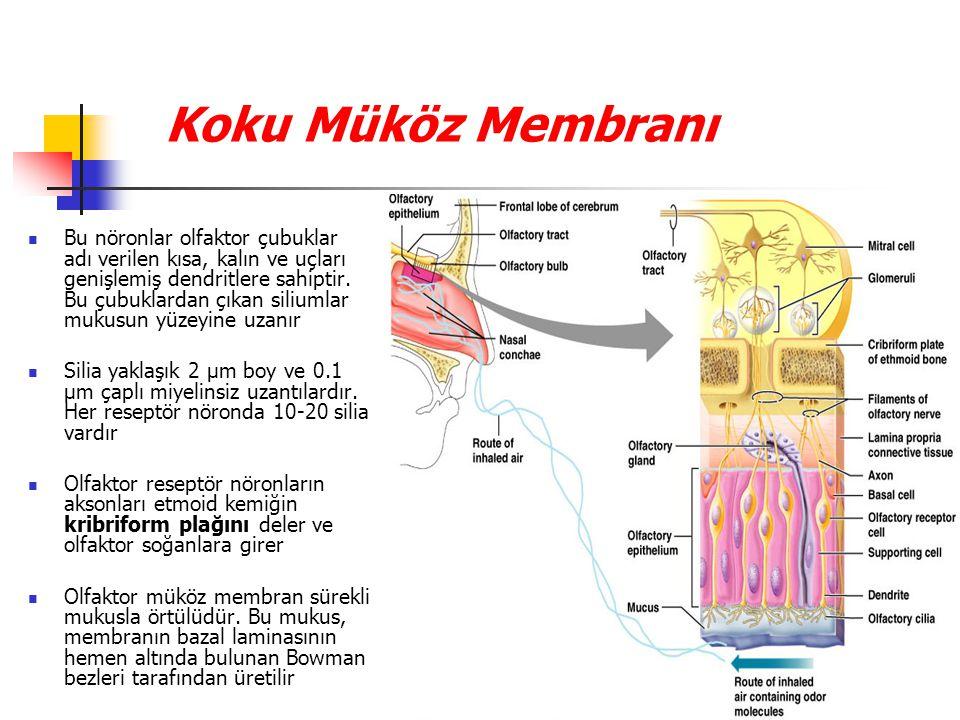 Koku Müköz Membranı Bu nöronlar olfaktor çubuklar adı verilen kısa, kalın ve uçları genişlemiş dendritlere sahiptir.